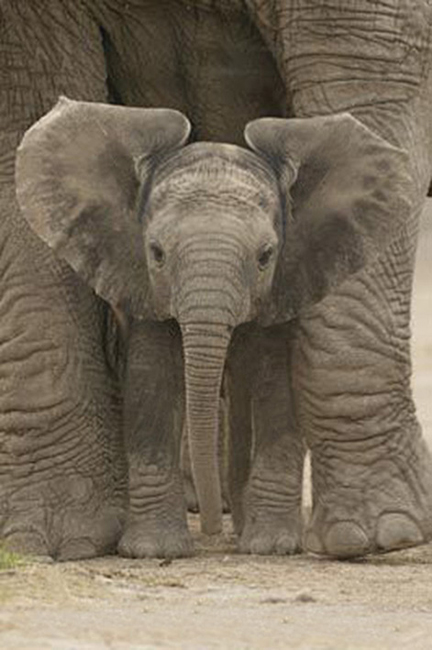 Matriarch Elephant