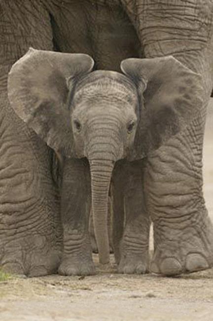 Matriarch Elephant
