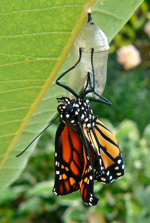 monarch-emerging-from-chrysalis